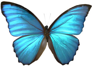 Blue_Morpho_Butterfly_Wings_by_Enchantedgal_Stock